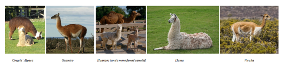 Camelids for South American Chance