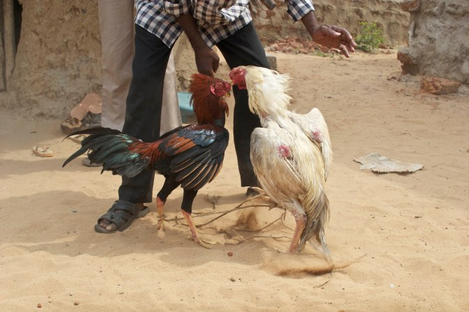 Indian Cock Fight